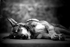 Bored dog2368767518_37f7c5d1ef_m