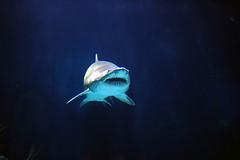 Shark 131673530_eeb4ae3d93_m