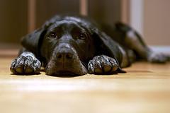 Dog_flickr_423460439_16397f322d_m