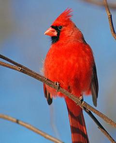 Cardinal_flickr_399058046_bbc2cdbbb