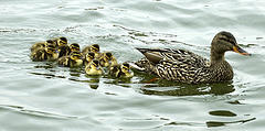 Ducks_flickr_12692534_67a17e690b_m