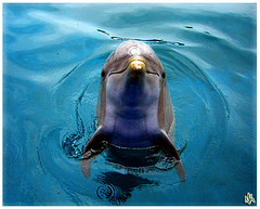 Dolphin_flickr_267411515_8204abe4e6